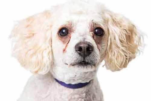 犬の目元が赤い